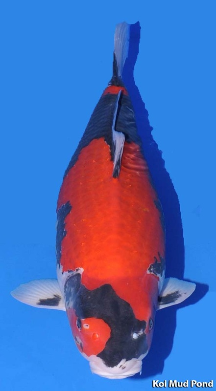 Goshiki koi images galleries with a bite for Koi fish varieties